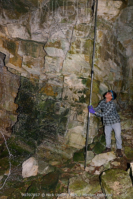 Mist net being set across a cave entrance for bats during an autumn swarming survey run by the Wiltshire Bat Group, near Box, Wiltshire, UK, September. Model released.