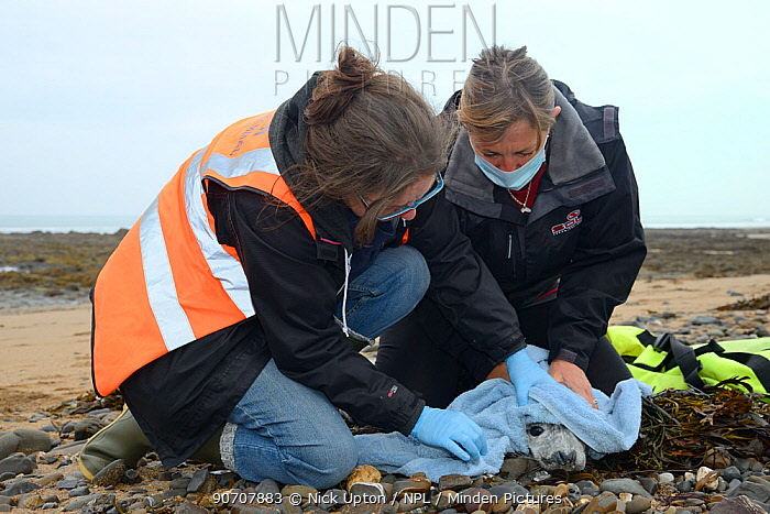 British Divers Marine Life Rescue animal medics Michelle Clement and Rachel Shorland inspecting a sick, injured Grey seal pup (Halichoerus grypus) 'Jenga', found washed up on the tide line, Widemouth Bay, North Cornwall, UK, October. Model released.