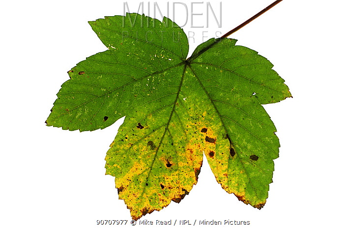 Sycamore (Acer pseudoplatanus) cut out on white background, showing Tar-spot fungus (Rhytisma acerinum).