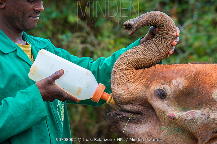 Keeper bottle feeding young orphan African elephant (Loxodonta africana) after feeding it, David Sheldrick African Elephant Orphanage. Nairobi National Park, Nairobi, Kenya.