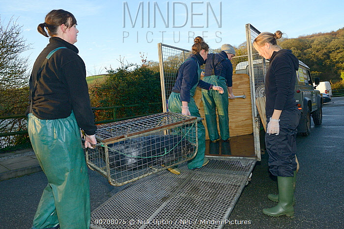 Carers loading rescued Grey seal pup (Halichoerus grypus) in a temporary cage  into a trailer for release back to the sea, after recovering from its injuries through treatment and rehabilitation, Cornish Seal Sanctuary, Gweek, Cornwall, UK,  January.  Model released.