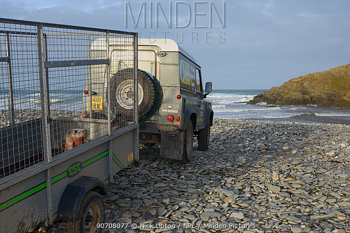 Rescued Grey seal pup (Halichoerus grypus) in trailer about to be released, after recovering from its injuries through treatment and rehabilitation at the Cornish Seal Sanctuary, North Cornwall, UK, January.