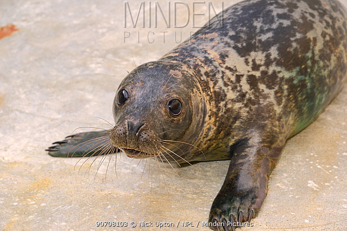 Rescued Grey seal pup (Halichoerus grypus) in an isolated nursery pool where it will be kept until strong enough to join other pups and then be released back to the sea, Cornish Seal Sanctuary, Gweek, Cornwall, UK, January.