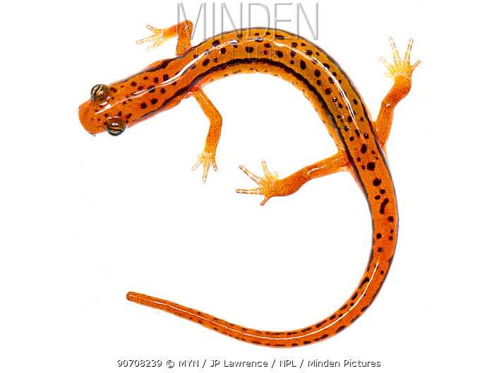 Blue ridge two-lined salamander (Eurycea wilderae) Clark's Creek Park, Tennessee, USA, March. Meetyourneighbours.net project