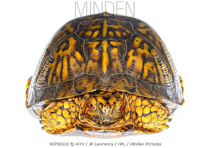 Eastern box turtle (Terrepene carolina carolina) Pine Mountain State Park, Kentucky, USA. Meetyourneighbours.net project