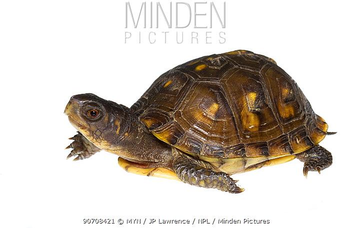 Three-toed box turtle (Terrapene carolina triunguis) Oxford, Mississippi, USA. Meetyourneighbours.net project