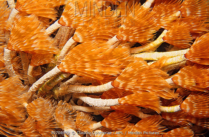 Social feather duster worm (Bispira brunnea) Cancun national Park, Caribbean Sea, Mexico, July