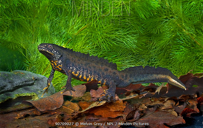 Great-crested newt (Triturus cristatus) adult male breeding colours. Glamorgan, West Wales, UK, May.