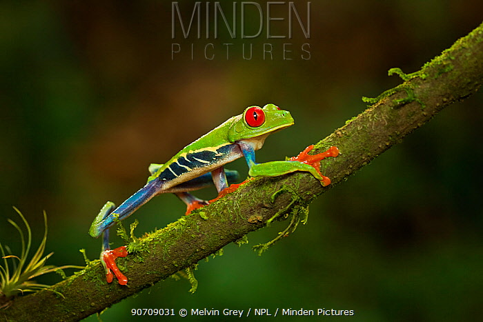 Red-eyed tree frog (Agalychnis callidryas) adult hunting at night. Sarapique area, Costa Rica. Controlled conditions.