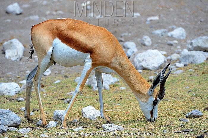 Springbok (Antidorcas marsupialis) grazing during dry season, Etosha National Park, Namibia, Africa