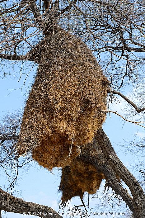 Sociable weaver (Philetairus socius)  nesting colony in tree, Etosha National Park, Namibia, Africa