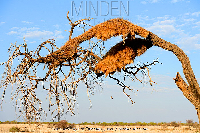 Sociable Weaver (Philetairus socius) bird nest colony in tree, dry season, Etosha National Park, Namibia, Africa