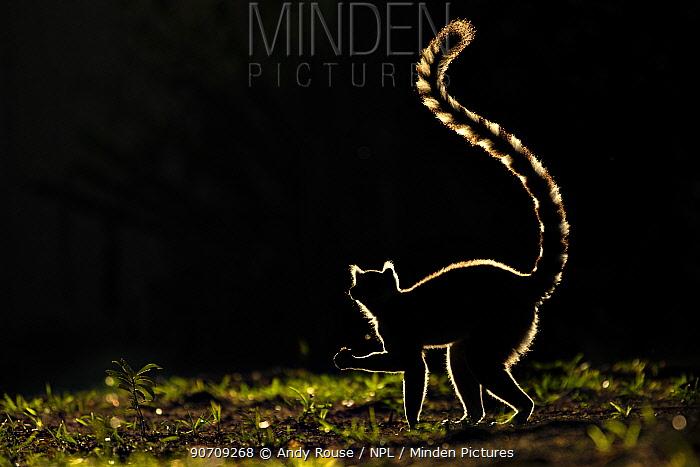 Ring tailed Lemur (Lemur catta) silhouetted. Madagascar.