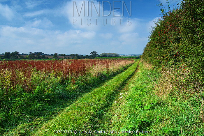 Farm track beside hedgerow, Wiltshire, UK, October 2014.