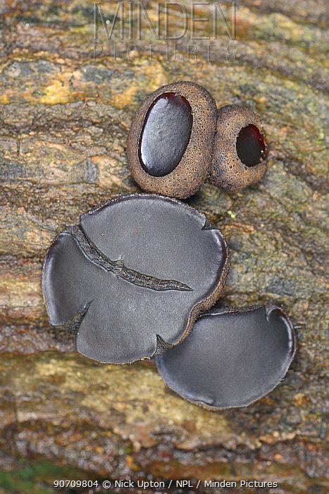 Black bulgar fungus (Bulgaria inquinans) growing on rotting oak log, GWT Lower Woods reserve, Gloucestershire, UK, October.