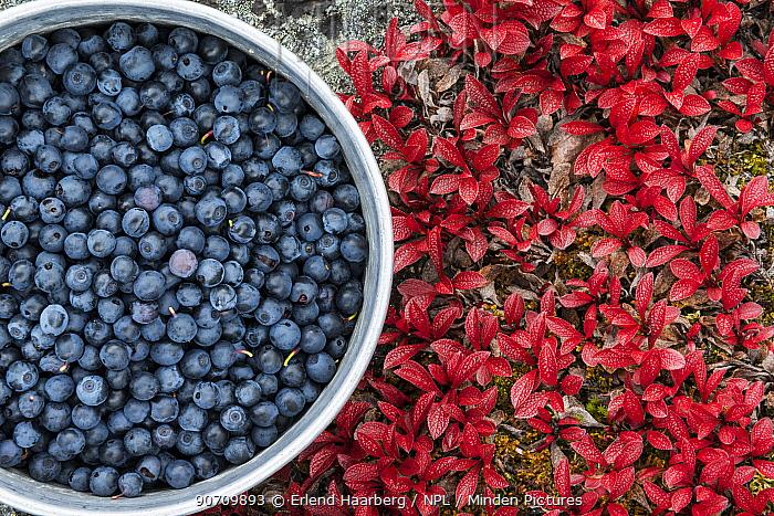 Pot of bilberries (Vaccinium myrtillus) near alpine bearberry (Arctostaphylos alpina) leaves, Sarek National Park, Laponia World Heritage Site, Lapland, Sweden, September.