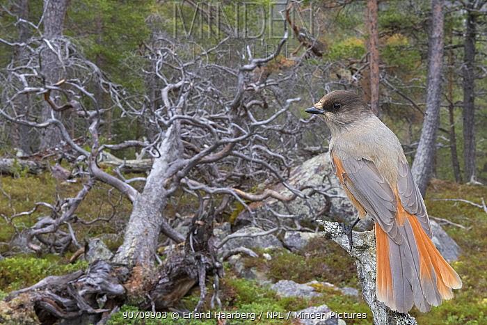 Siberian jay (Perisoreus infaustus) in Scots pine forest, near fallen tree, Stora Sjofallet National Park, Laponia World Heritage Site, Lapland, Sweden, October.