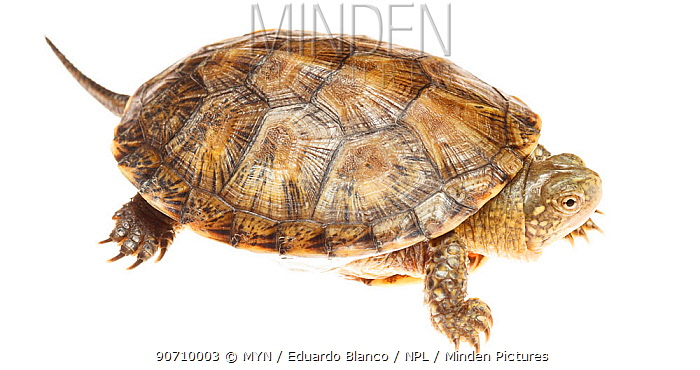 European pond turtle (Emys orbicularis), Bardenas Reales Natural Park, Navarra, Spain, May. meetyourneighbours.net project