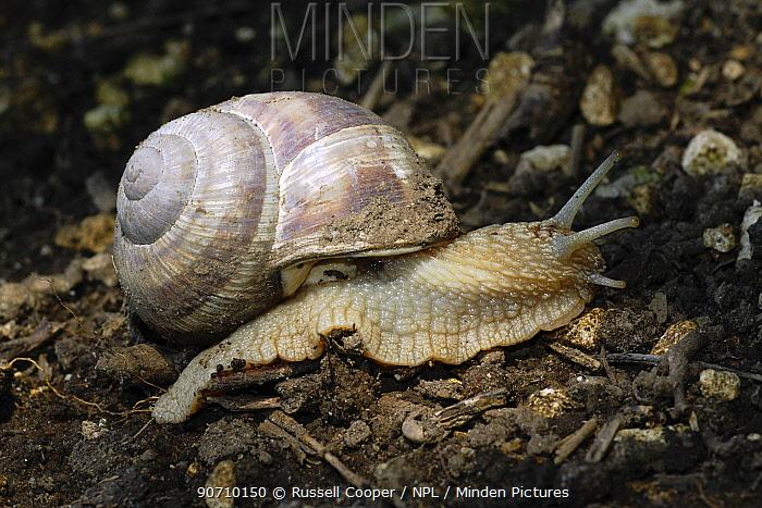 Roman / Edible Snail (Helix pomatia) North Downs, Surrey, UK, July.