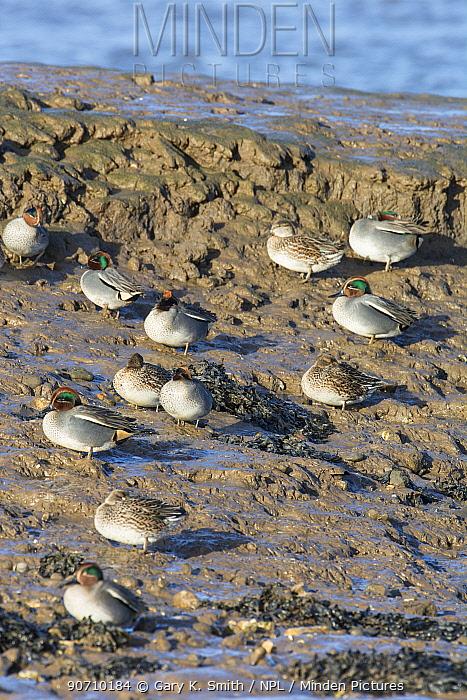 Teal (Anas crecca) group roosting in tidal creek, Norfolk, UK. December.