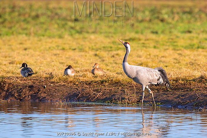 Common crane (Grus grus) standing in water, Gloucestershire, UK, November. This bird is part of the reintroduction program headed by the RSPB on the Somerset Levels.