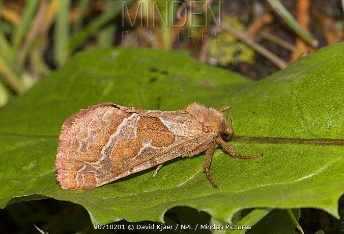 Common swift moth (Hepialus lupulinus) on leaf, Wiltshire, UK, August.