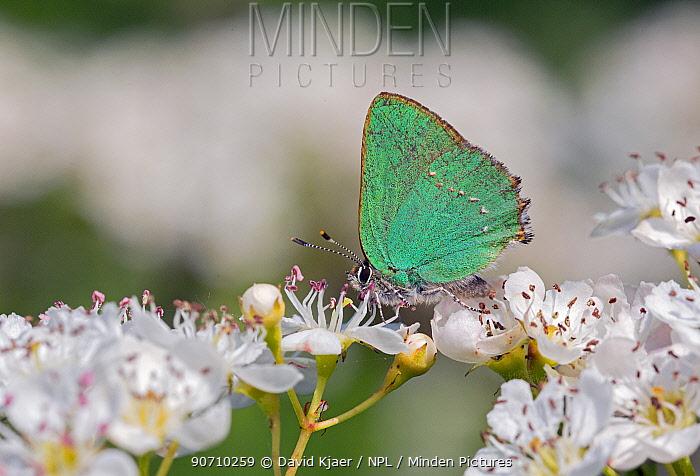 Green hairstreak butterfly  (Callophrys rubi) on flowers, Wiltshire, UK, May.