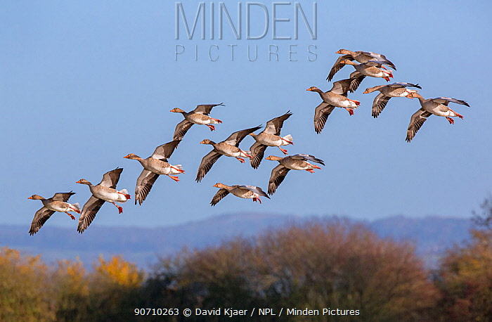 Greylag goose (Anser anser) flock flying  Gloucestershire, UK, November.