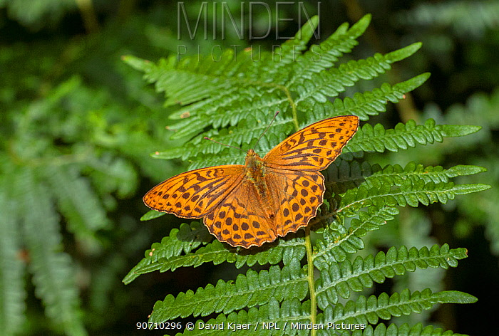 Silver-washed fritillary butterfly (Argynnis paphia) England, UK, July.