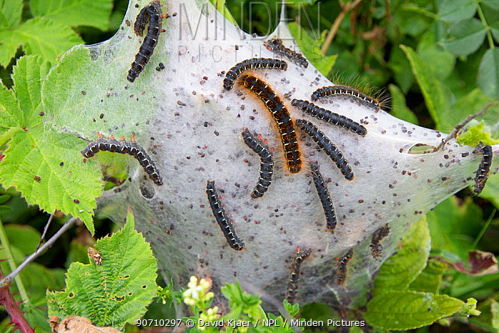 Small eggar (Eriogaster lanestris) communal web of caterpillars, Dorset, UK, June.