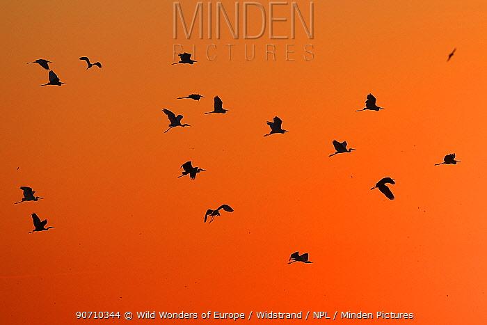 Great white egret (Ardea alba) group flying at sunset, Anklamer stadtbruch, Stettiner Haff, Oder delta, Germany, August.