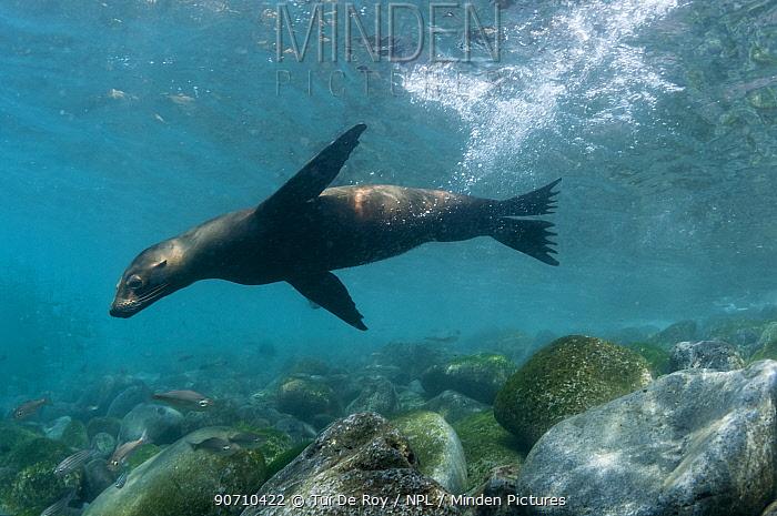 Galapagos sea lion (Zalophus wollebaeki) swimming, Punta Vicente Roca, Isabela Island, Galapagos, Ecuador, May.