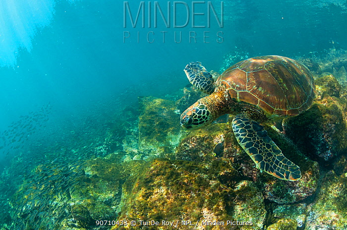 Green turtle (Chelonia mydas) swimming, Rabida Island, Galapagos, Ecuador, June.