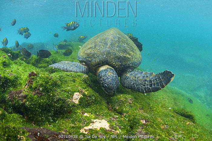 Green turtle (Chelonia mydas) swimming, Punta Espinosa, Fernandina Island, Galapagos, Ecuador, May.