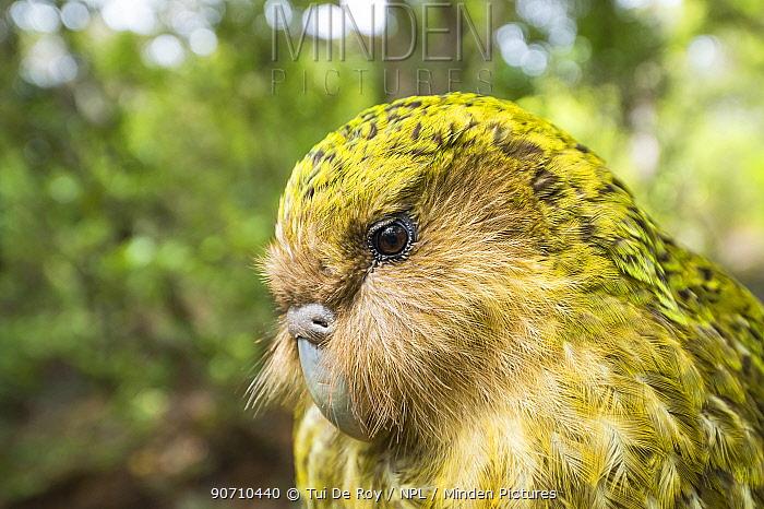 Kakapo (Strigops habroptilus) close up showing sensory facial feathers, Codfish Island / Whenua Hou, Southland, New Zealand. Critically endangered