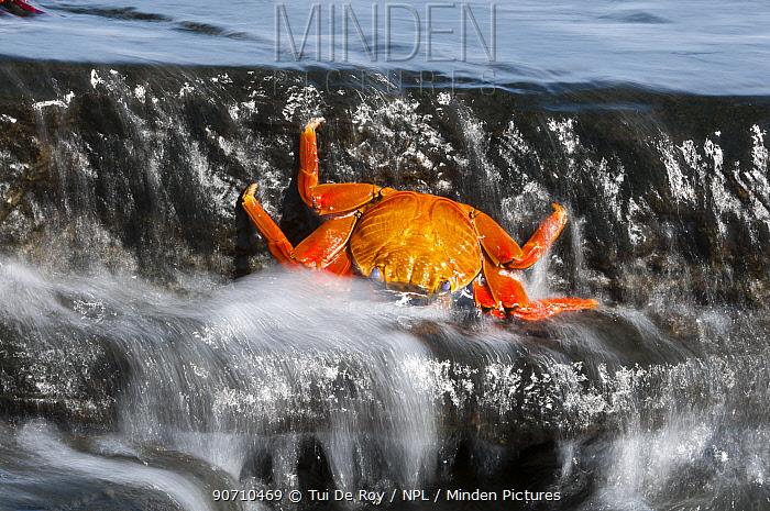 Dead Sally-lightfoot crab (Grapsus grapsus) washed up in surf, Puerto Egas, James Bay, Santiago Island, Galapagos, Ecuador, May.