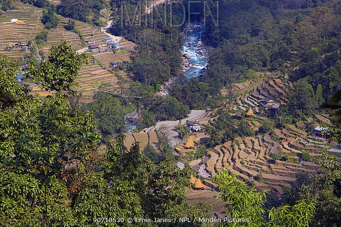 Straw drying on hill terraces, Ghandruk,  Modi Khola Valley, Himalayas, Nepal. November 2014.