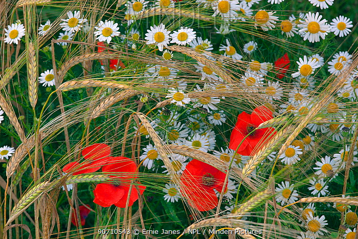 Field poppies (Papaver rhoeas) and Corn Chamomile (Anthemis arvensis) growing in organic Barley (Hordeum vulgare) crop, Norfolk, England, UK. July.