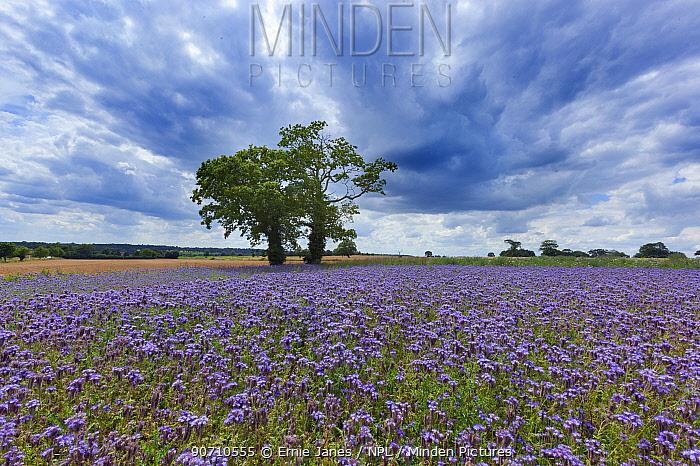 Purple tansy (Phacelia tanacetifolia) in flower, Norfolk, England, UK. July.