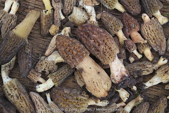 Morel mushrooms (Morchella sp.) harvested in basket, Lijiang City, Lijiang Laojunshan National Park, Yunnan Province, China. April.