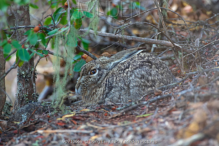 Woolly hare (Lepus oiostolus) hunched up low to the ground, camouflaged against leaf litter, Kawakarpo Mountain, Meri Snow Mountain National Park, Yunnan Province, China. April.