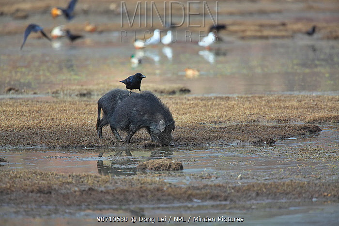 Large-billed Crow (Corvus macrorhynchos) perched on the back of Wild boar (Sus scrofa) foraging in silt of Napahai Lake, Zhongdian County, Yunnan Province, China. January.