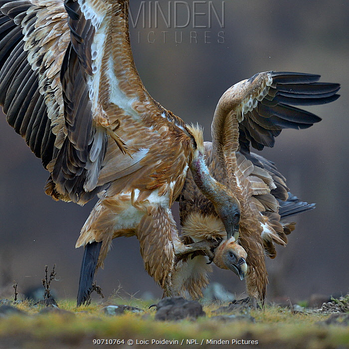 Griffon vulture (Gyps fulvus) fighting, Rhodopes, Bulgaria, January.
