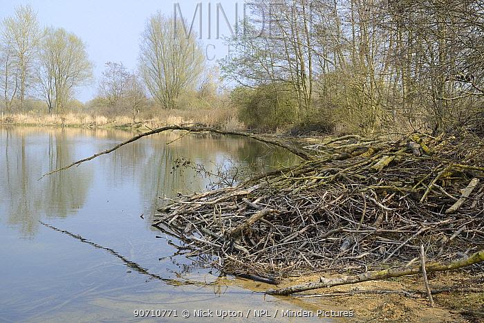 Eurasian beaver (Castor fiber) lodge, Flagham Fen, Cotswold Water Park, Gloucestershire, UK, April.