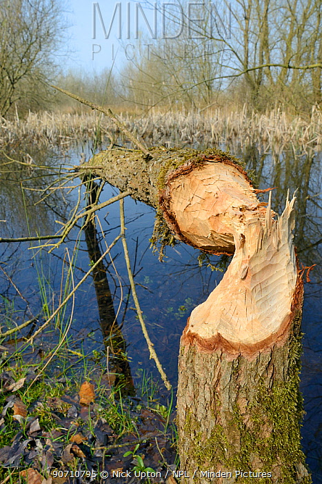 Young Willow tree (Salix sp.) felled by Eurasian beavers (Castor fiber), Gloucestershire, UK, April.
