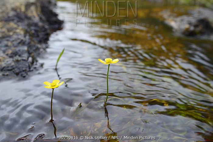 Lesser spearwort (Ranunculus flammula) flowering in a small stream, Bodmin Moor, UK, July.