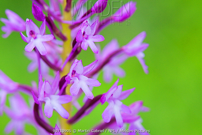 Pyramidal orchid (Anacamptis pyramidalis) flower close-up, Krk Island, Croatia, June.