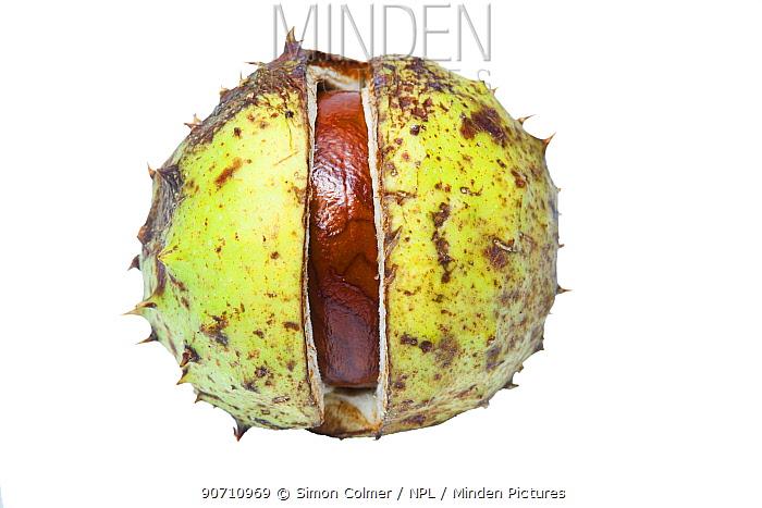 Conker or Horse chestnut (Aesculus hippocastanum) in case, on white background. September.