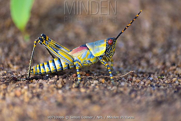 Elegant grasshopper (Zonocerus elegans) Senga Bay, Malawi. November.