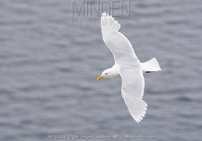 Glaucous gull (Larus hyperboreus hyperboreus) in flight over sea, Spitsbergen, Svalbard, Norway, July 2007.